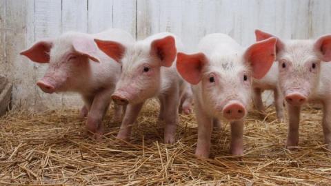 Банк решил не настаивать на банкротстве свинофермы