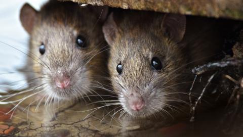 Жители Кировского района жалуются на бросающихся на людей крыс