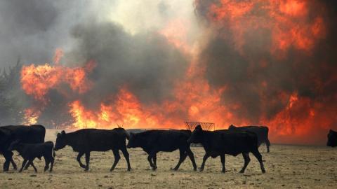 В Озинском районе 20 коров и лошадь сгорели в сарае