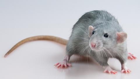 Жильцам дома с крысами предложили жаловаться в Роспотребнадзор и ГЖИ