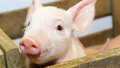 В Ершовском районе ввели карантин из-за африканской чумы свиней