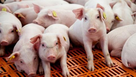 Под Саратовом фермер лишился стада свиней стоимостью более 800 тысяч рублей
