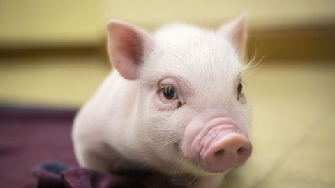 В Ершовском районе отменили карантин по чуме свиней