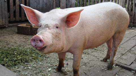 АЧС: Владельцам изъятого свинопоголовья выплачена компенсация