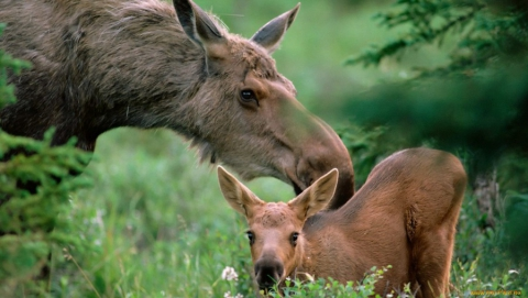 Под Саратовом браконьеры убили беременную лосиху с лосенком