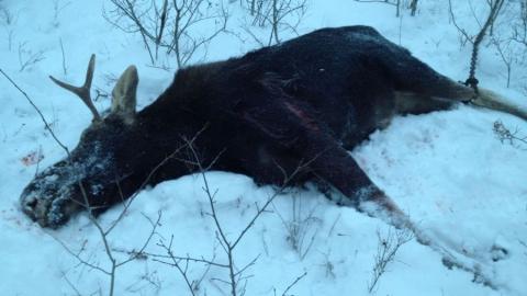 Незаконное убийство лося в селе Галахово. Возбуждено дело
