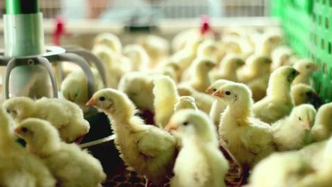 В Саратовской области возрождаются птицефабрики