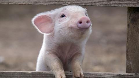 Пять свиней на ферме в Елшанке погибли от африканской чумы