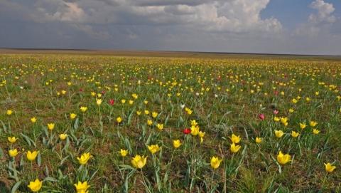 Завтра в Саратовской области открывается III фестиваль тюльпанов