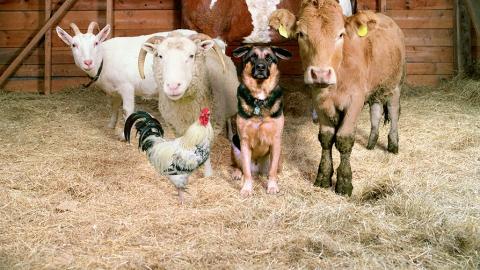 В селе Большая Сакма сгорели 20 овец и два теленка