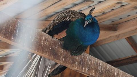Из саратовского зоопарка украли павлина и ягненка
