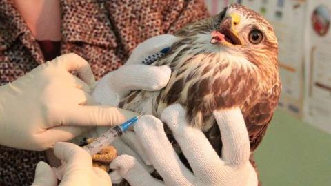 Саратовские ветеринары спасли раненого сокола