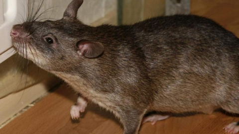 Семимесячную девочку  за голову укусила крыса