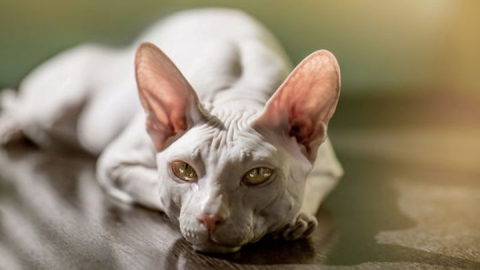 Лиса украла кота-сфинкса у жителя Сабуровки