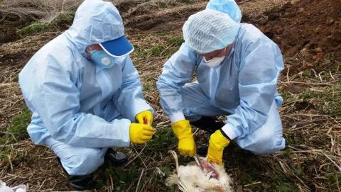 В Саратовской области обнаружен птичий грипп