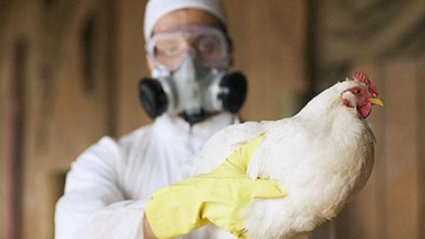 В Петровском районе обнаружен птичий грипп