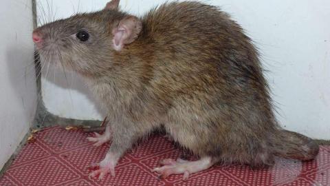 В Вольске 14-летнего мальчика укусила за ногу крыса