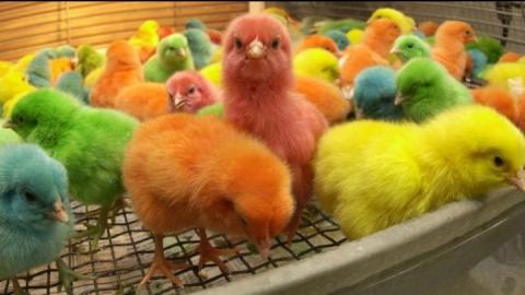 Бизнесмен из Краснодара привез в Саратовскую область окрашенных цыплят