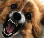 Ветеринары пытаются остановить вал заболеваемости бешенством