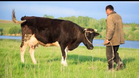 Двое азербайджанцев увели и убили быка с телкой у сельчанина