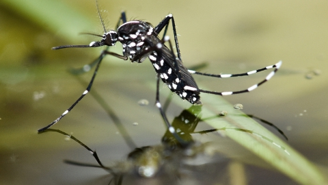 Саратовчанка обнаружила в своей квартире опасного комара