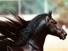 В область не пустили два десятка лошадей из Дагестана