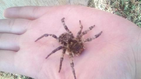 Жители Татищевского района сообщают о появлении в домах тарантулов