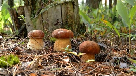 В Саратовской области трое человек отравились грибами