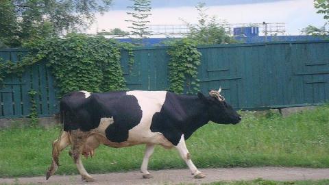 Житель Ивановки застрелил корову из ружья