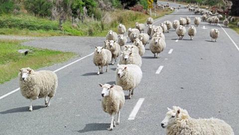 Полицейские отыскали отару заблудших овец ровенского фермера