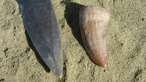 Палеонтологи СГТУ обнаружили кость пальца птерозавра