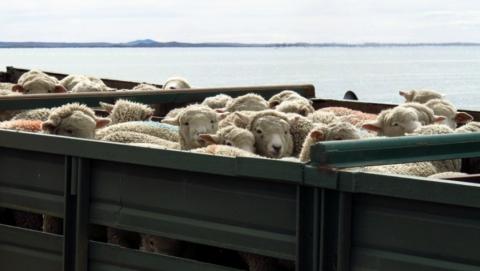 """Ветеринары задержали овец-""""нелегалов"""""""