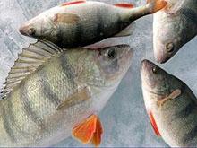 Росприроднадзор проверил сообщение о заморе рыбы в Волге