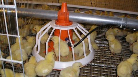 Оштрафованный директор «Татищевской птицефабрики» выплатил долг по зарплате