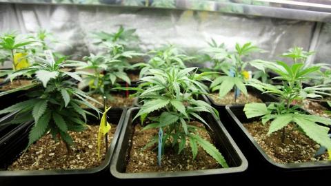 Мужчина вырастил урожай в 14 килограммов марихуаны