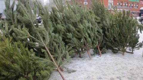 Пятерых саратовцев поймали на незаконной продаже елок
