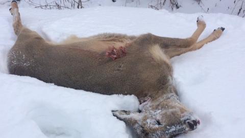 Убившего косулю лыжника преследовали на снегоходах