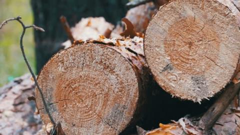 Лесника осудили за взятку древесиной