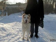 В Вольске собака покалечила ученицу первого класса