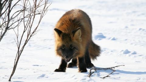 В Энгельсском районе запрещена охота с непривитыми от бешенства собаками