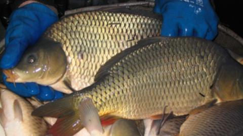 За год в Саратовской области изъяли 792 килограмма некачественной рыбы