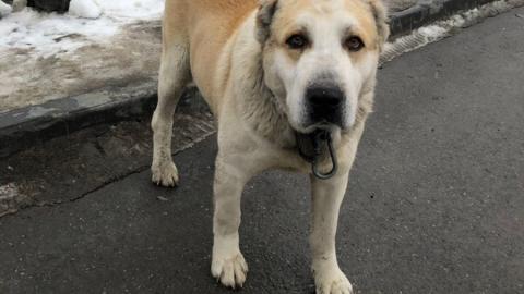 Ризеншнауцера и южнорусскую овчарку внесли в список опасных собак