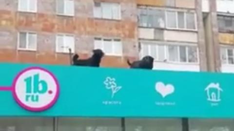 Собаки облаяли прохожих с козырька аптеки