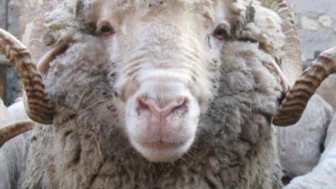 Хозяин похищенного барана узнал его по шкуре и голове в сарае пастуха