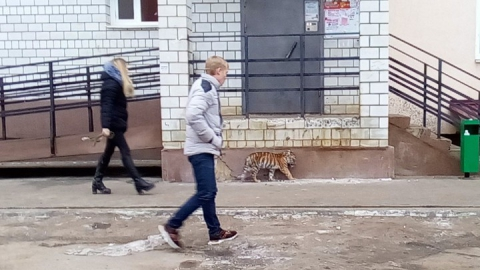 В Саратове заметили гуляющего тигрёнка