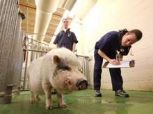 В регионе обнаружен микоплазмоз свиней