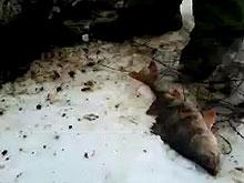 Причиной замора рыбы в Волге могло стать загрязнение из Сызрани