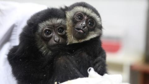 Таможенники спасли пятерых детенышей редких обезьянок