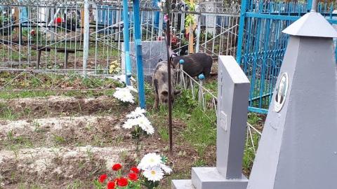 По вольскому кладбищу гуляют дикие поросята