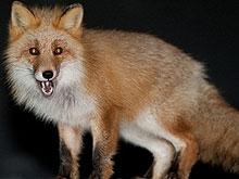 Саратовские лисы в этом году болели бешенством 27 раз